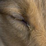 犬の目やにが臭い?緑や黒、茶色の原因は?白い粘りの場合と取り方も。