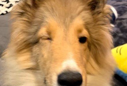 犬の目が赤い・白い膜や点は病気?ショボショボして開かないや片目だけの場合は。