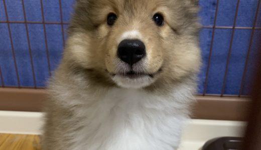 【子犬用ドッグフード】おすすめをランキングで。市販や国産、安全で安いものも。