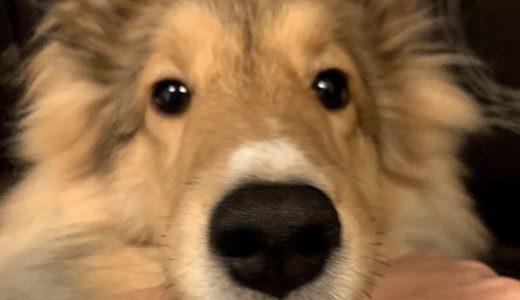 犬の芸の教え方や種類と一覧!あごやバーンなどはいつから?ハイタッチも!