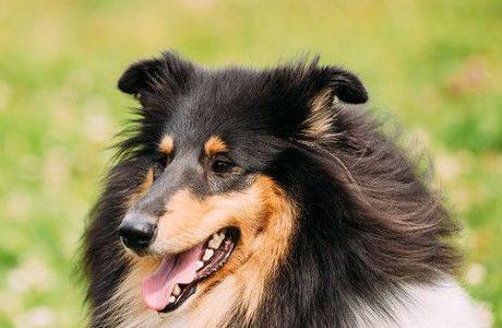 大型犬の性格。飼いやすい種類や珍しいのは?レオンベルガーなど。