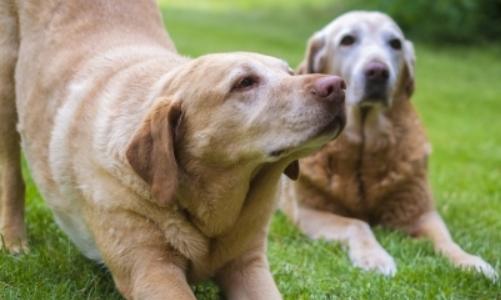 犬の心臓病用におすすめのドッグフード。ステージ4で与える餌は?