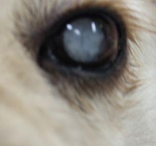 犬の白内障、手術はする?しない?費用とリスクは。保険適用の場合も。