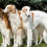 大型犬の種類ランキング!人気は白や黒、長毛?ボルゾイも。