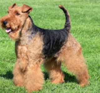 犬の種類で人気のテリア系の数や、性格と特徴。シュナウザーは違う?