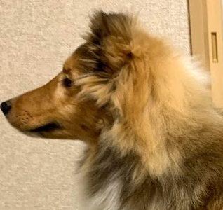 犬がブラッシングを嫌がる理由。やり方次第で顔も好きになる! 頻度は毎日?