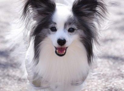 【犬の種類】飼いやすい犬種は?性格や寿命一覧。狆(ちん)などの珍しい犬種も!