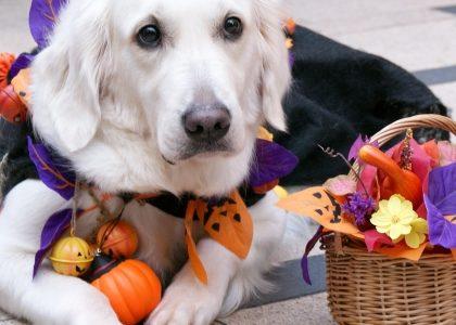 ハロウィン2020!大型犬におすすめな服(衣装)やグッズ。