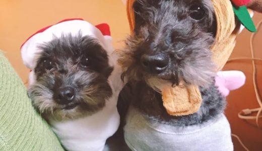 クリスマス2020!小型犬のプレゼントのおすすめは?衣装(服)やグッズも!