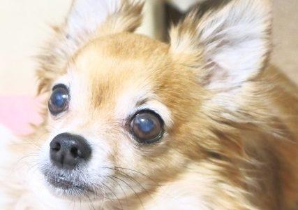 犬の白内障の目薬C-NAC(シーナック)やカリーユニの効果。最安値通販はあり?