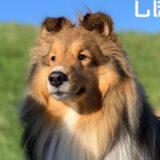 シェットランドシープドッグ(シェルティ)は飼いやすい?性格や特徴、かかりやすい病気も。